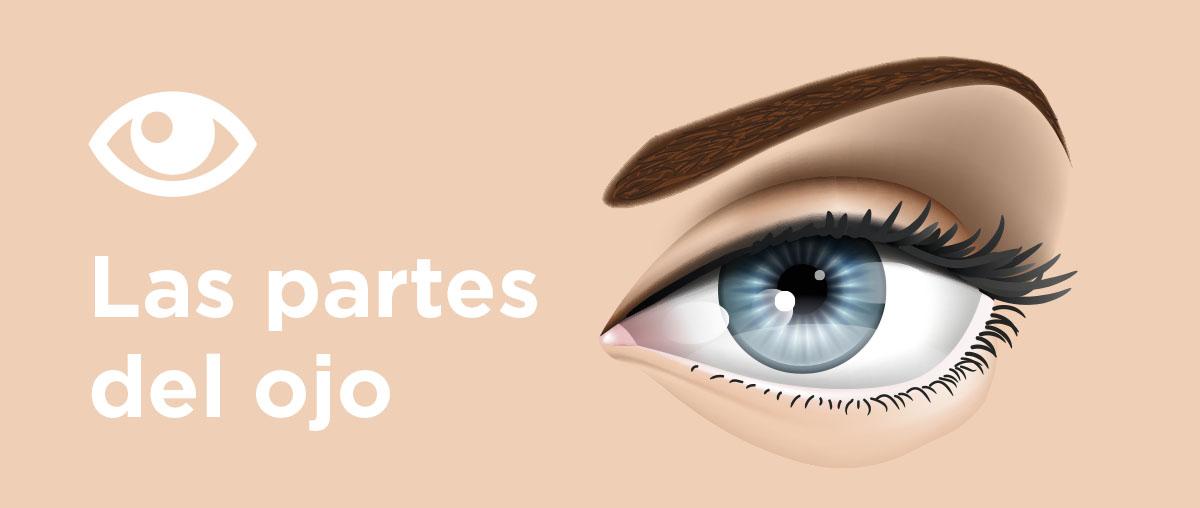 Las partes del ojo: 80% de la información sensorial llega a través de nuestros ojos